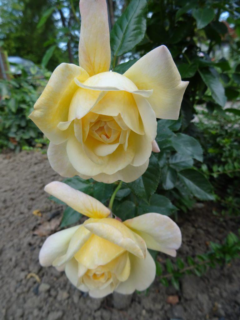 Hermann-Hesse-Rose zwei Blüten