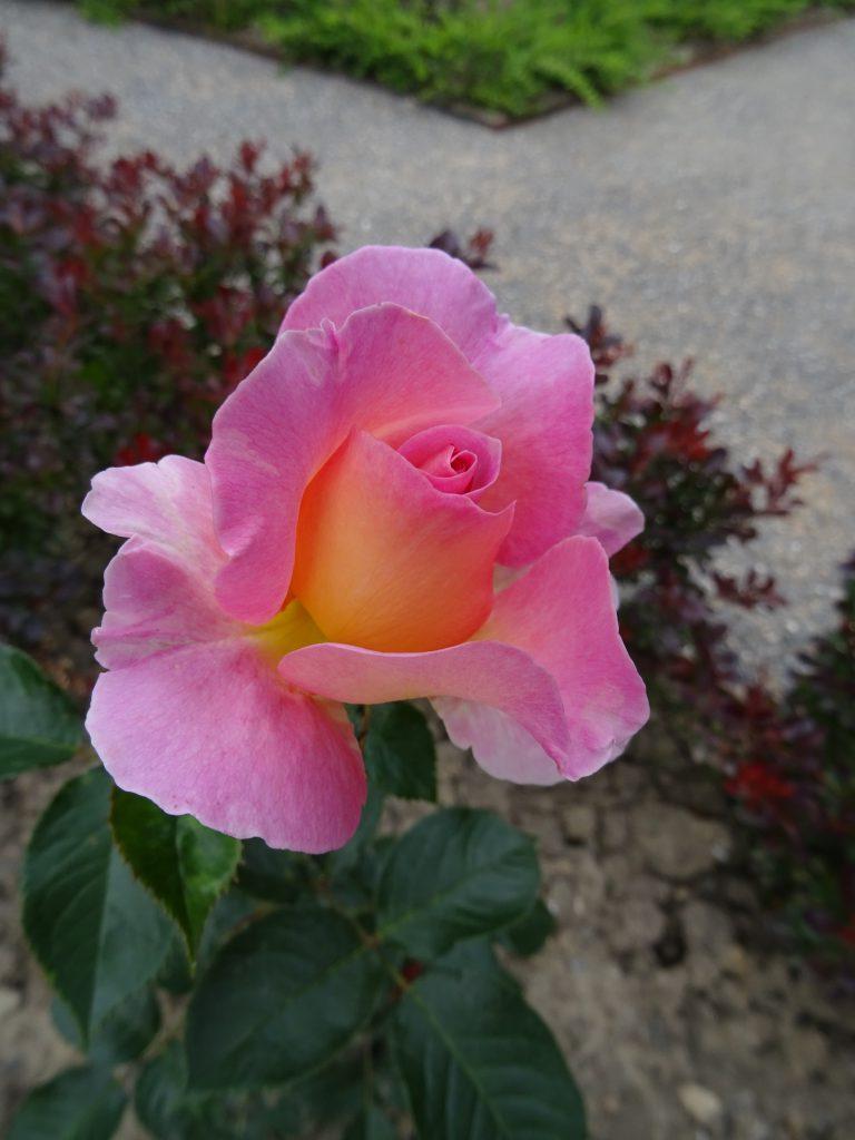 Pink Paradise öffnet sich