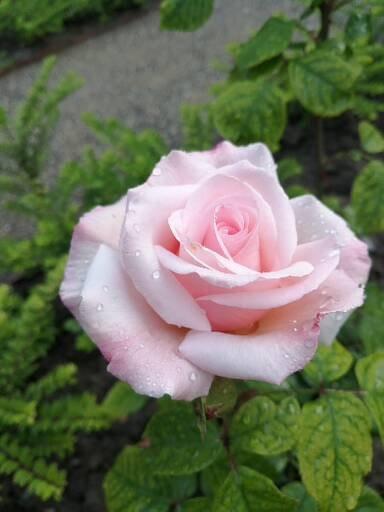 Sachsenperle perfekte Blüte