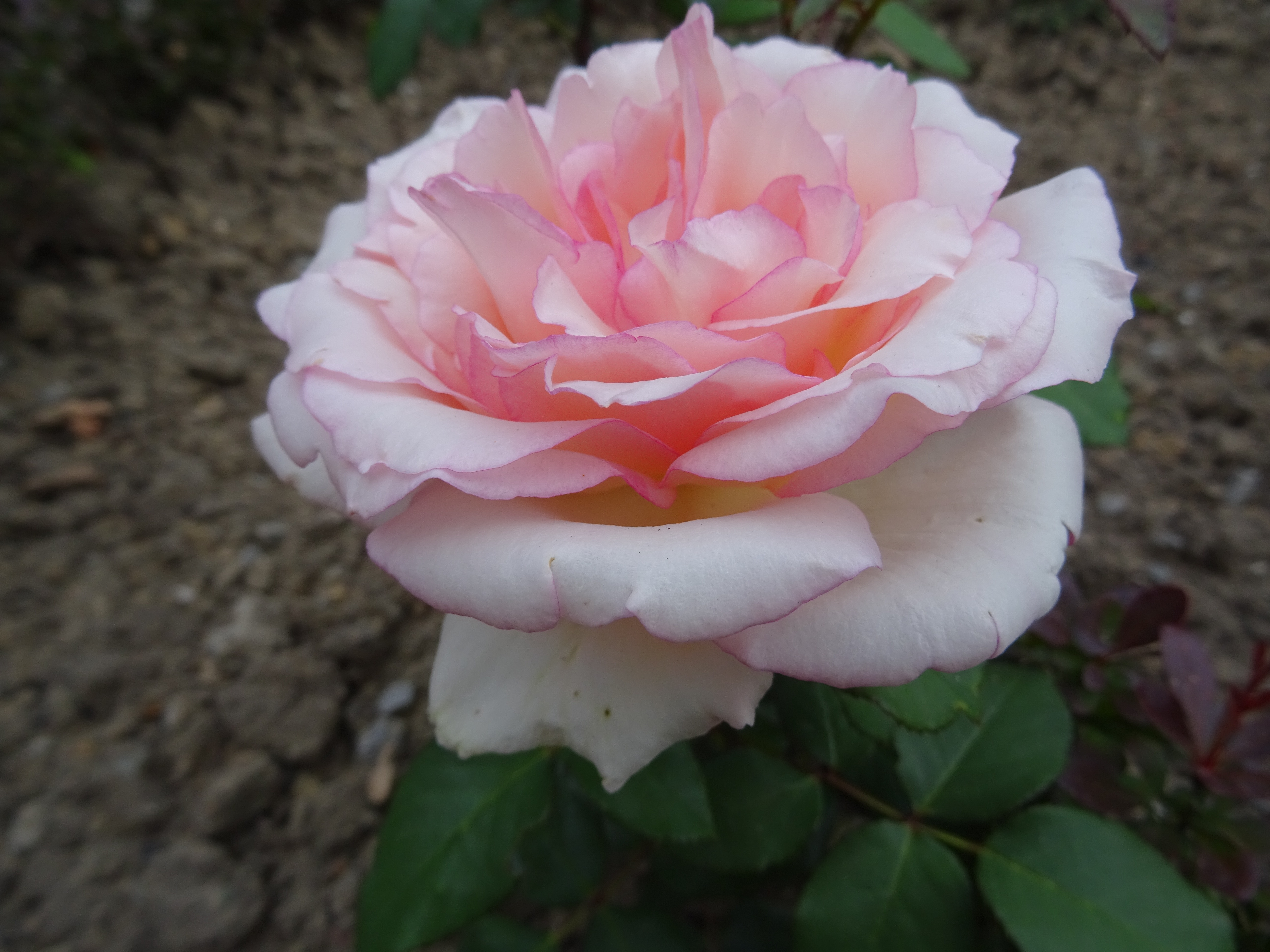 Souvenir de Baden-Baden offene Blüte