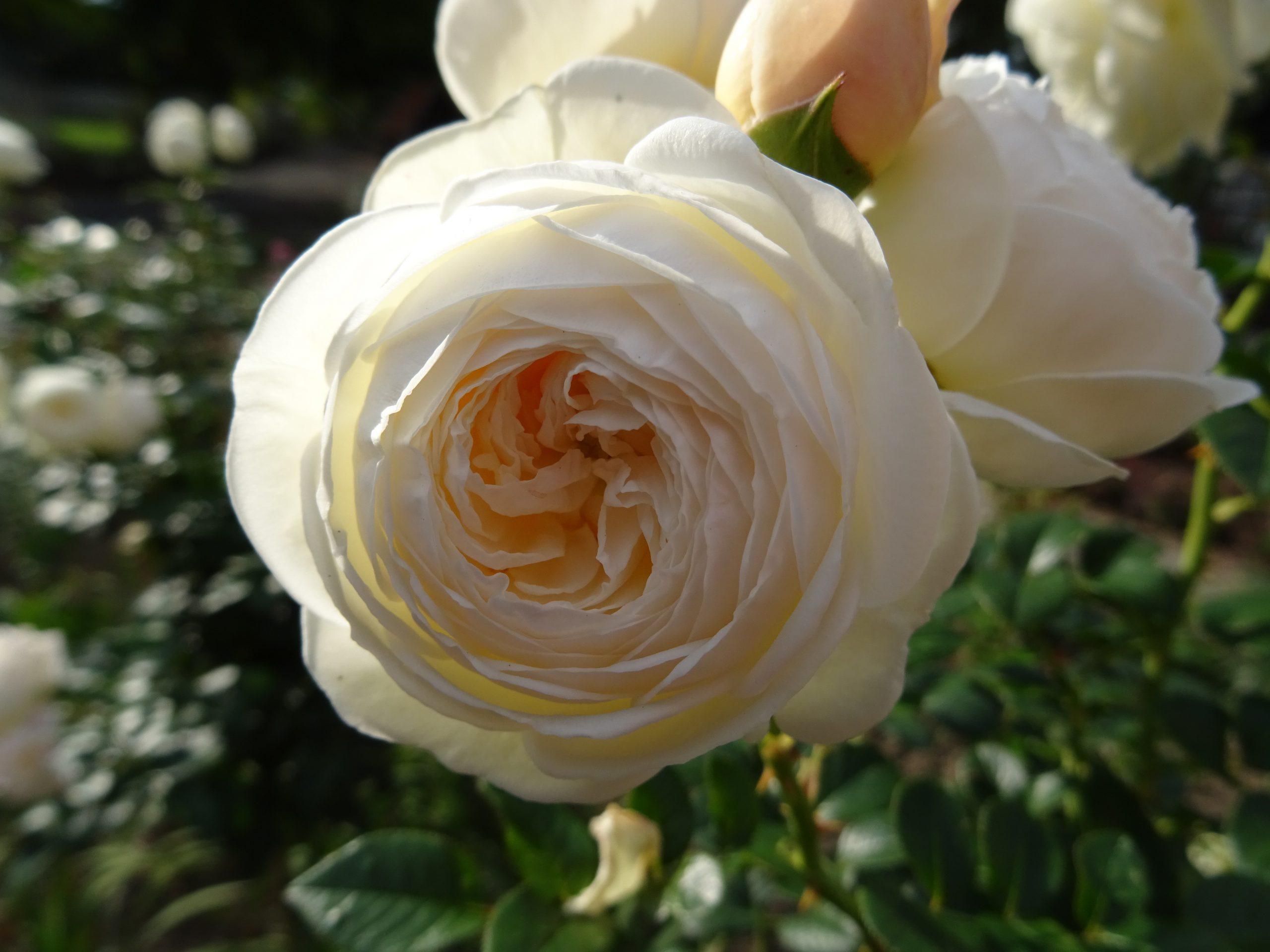 Einzelblüte Rose Artemis