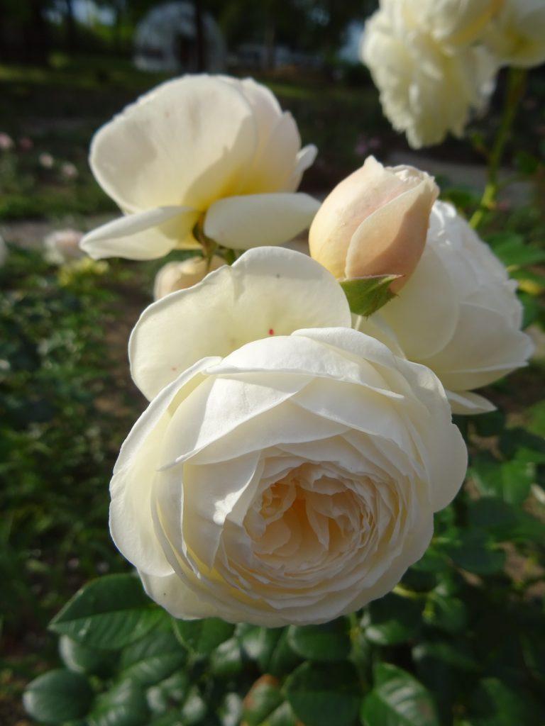 Rose Artemis Blütenbüschel