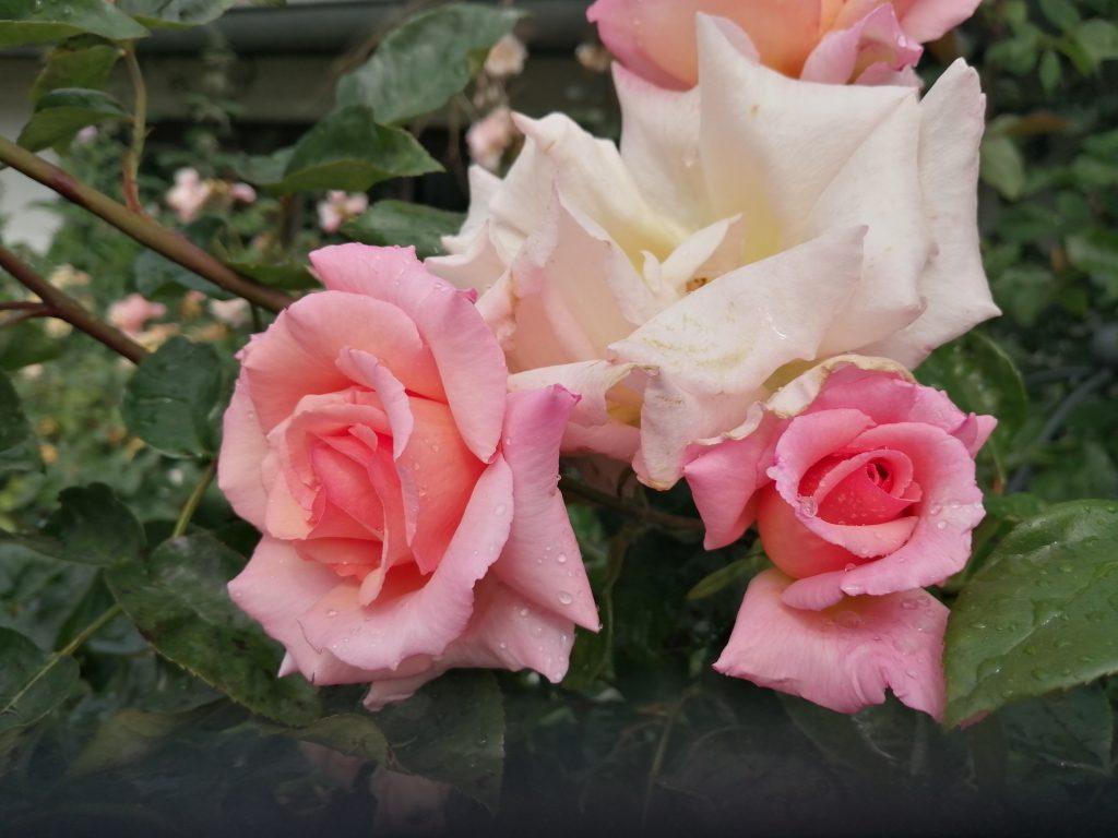Compassion mit verblühender Blüte