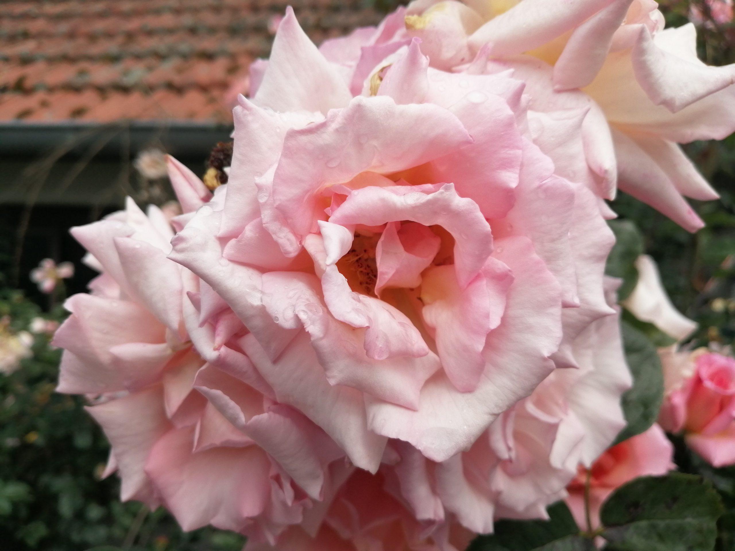 Compassion Blütenbüschel