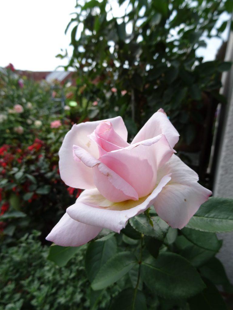 Compassion Einzelblüte aufblühend