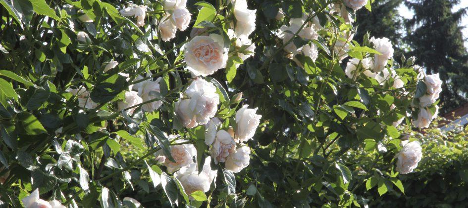 Rose Graciosa am Bogen