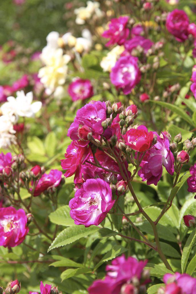 Perennial Blue Einzelbüschel