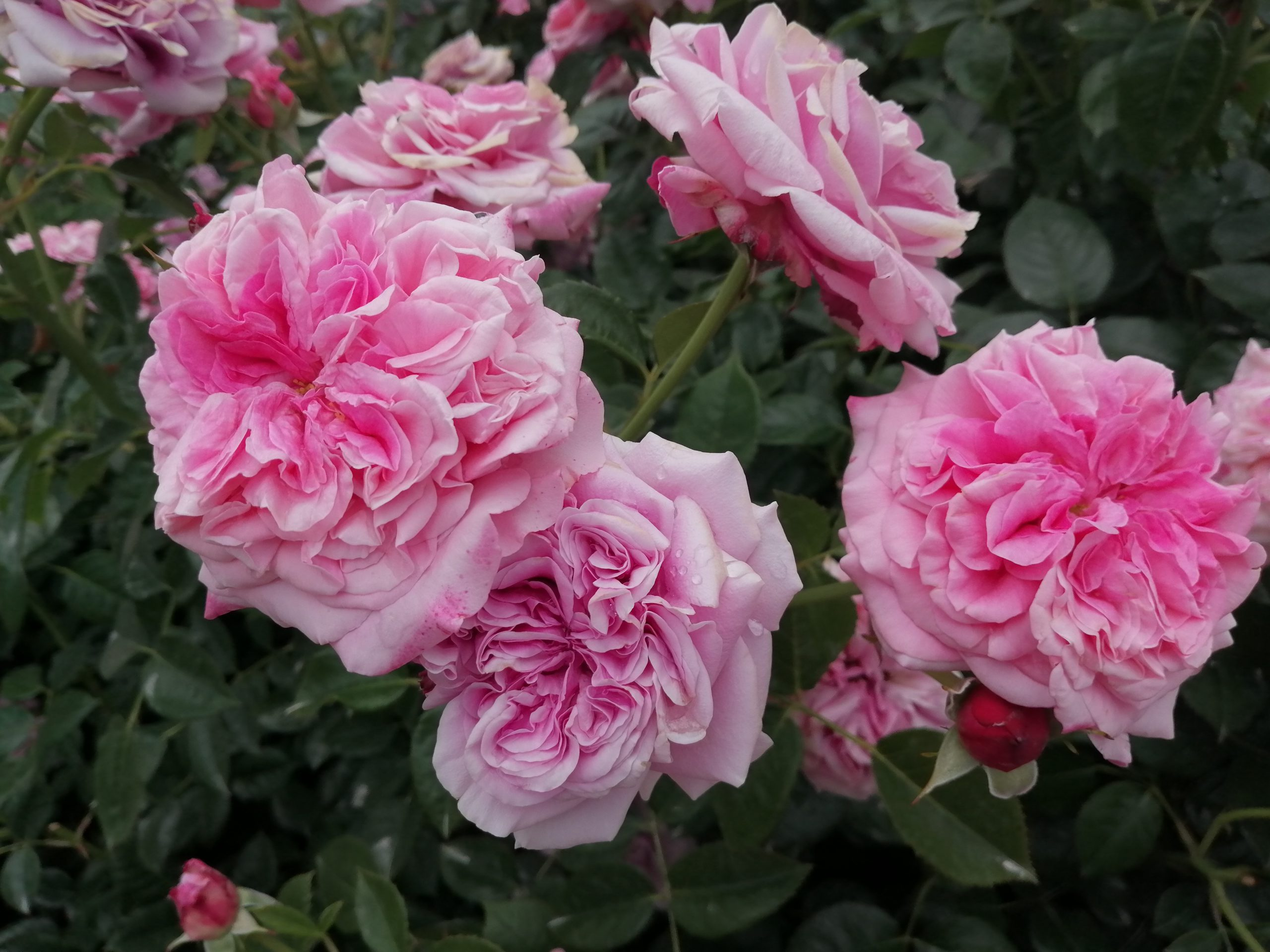Comeback Blütengruppe