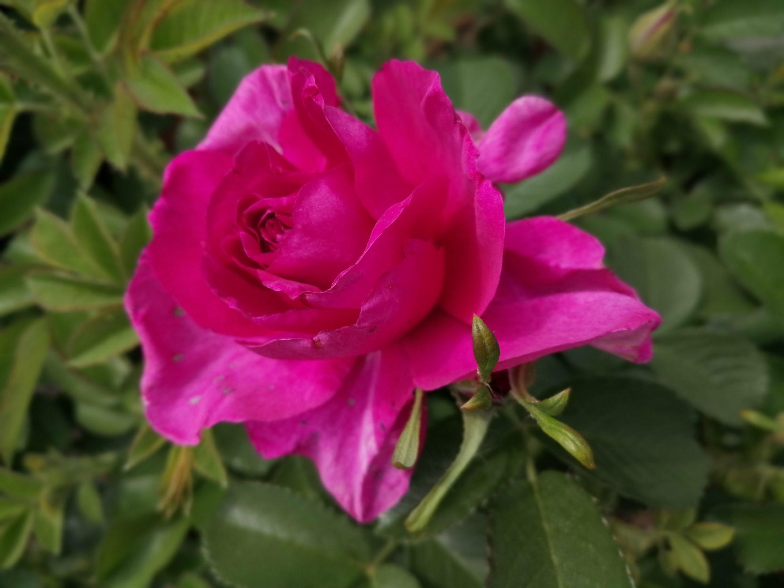 Wild Edric halboffene Blüte