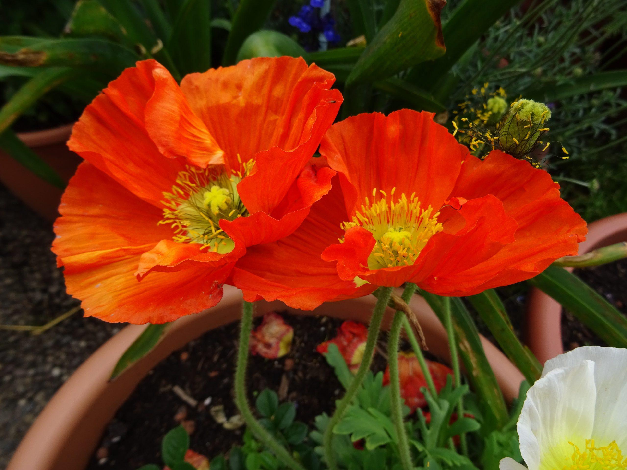 Islandmohn orange Blütenduo