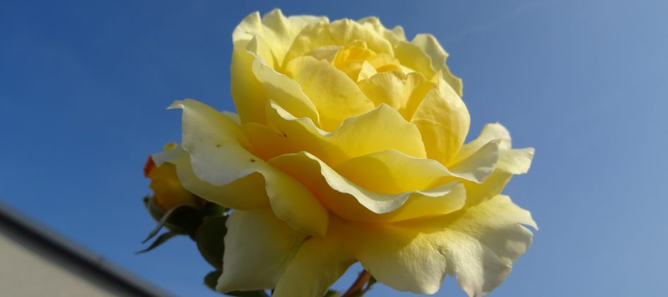 Sommergold Blüte vor Himmel