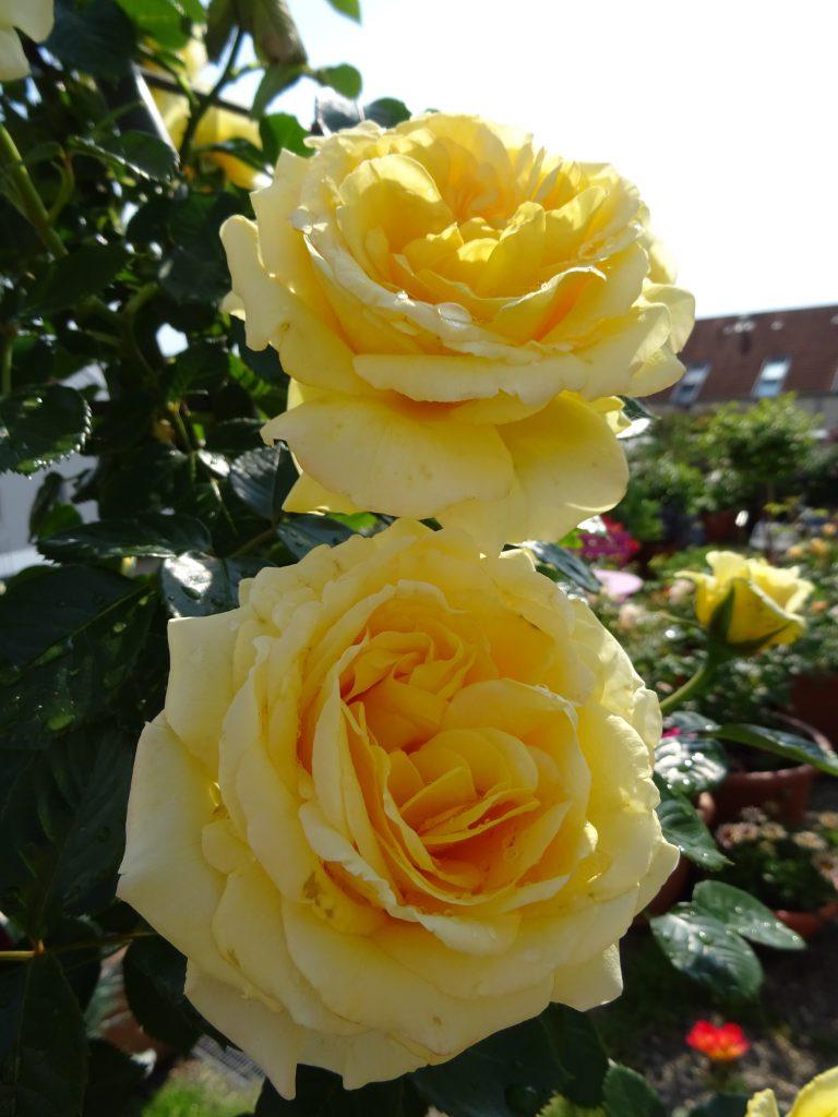Blütenduo Sommergold
