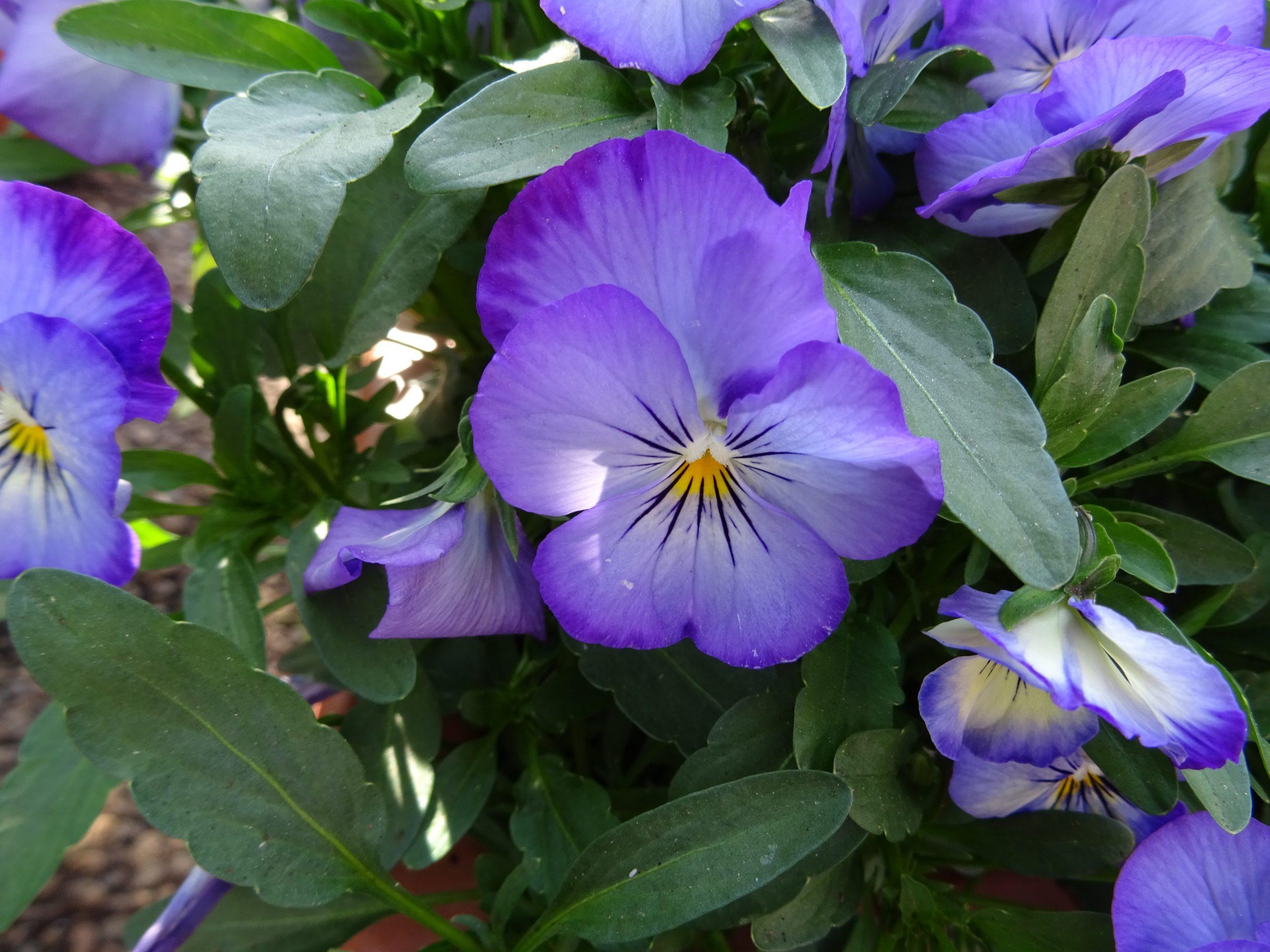 Stiefmütterchen lila