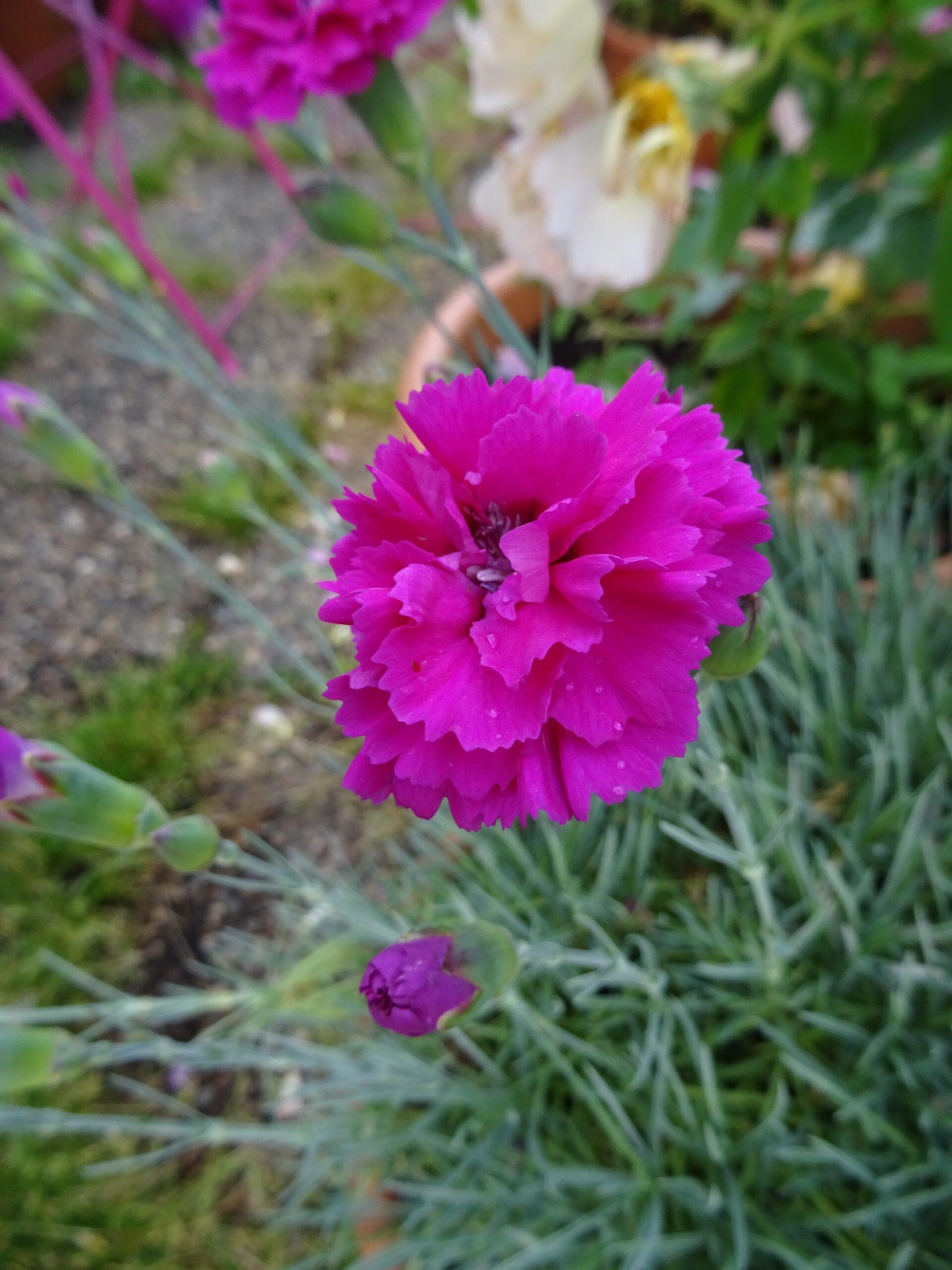 Dianthus Devon pink