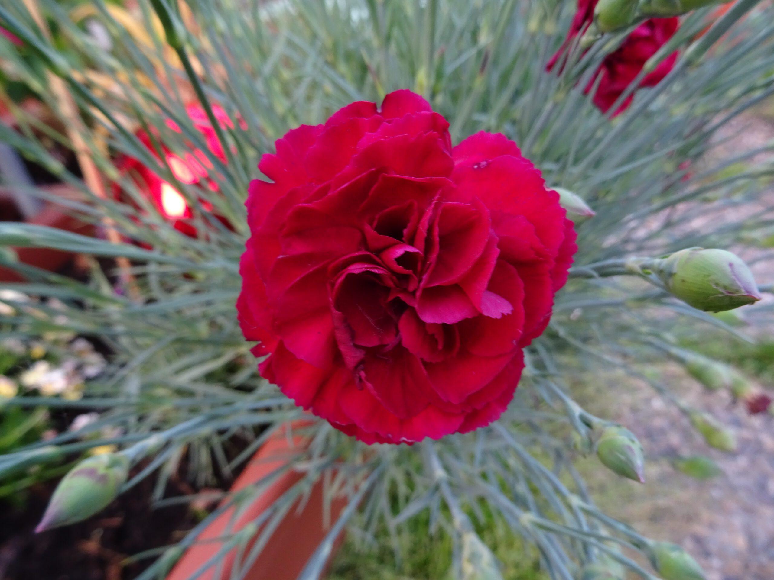 Dianthus Devon rot