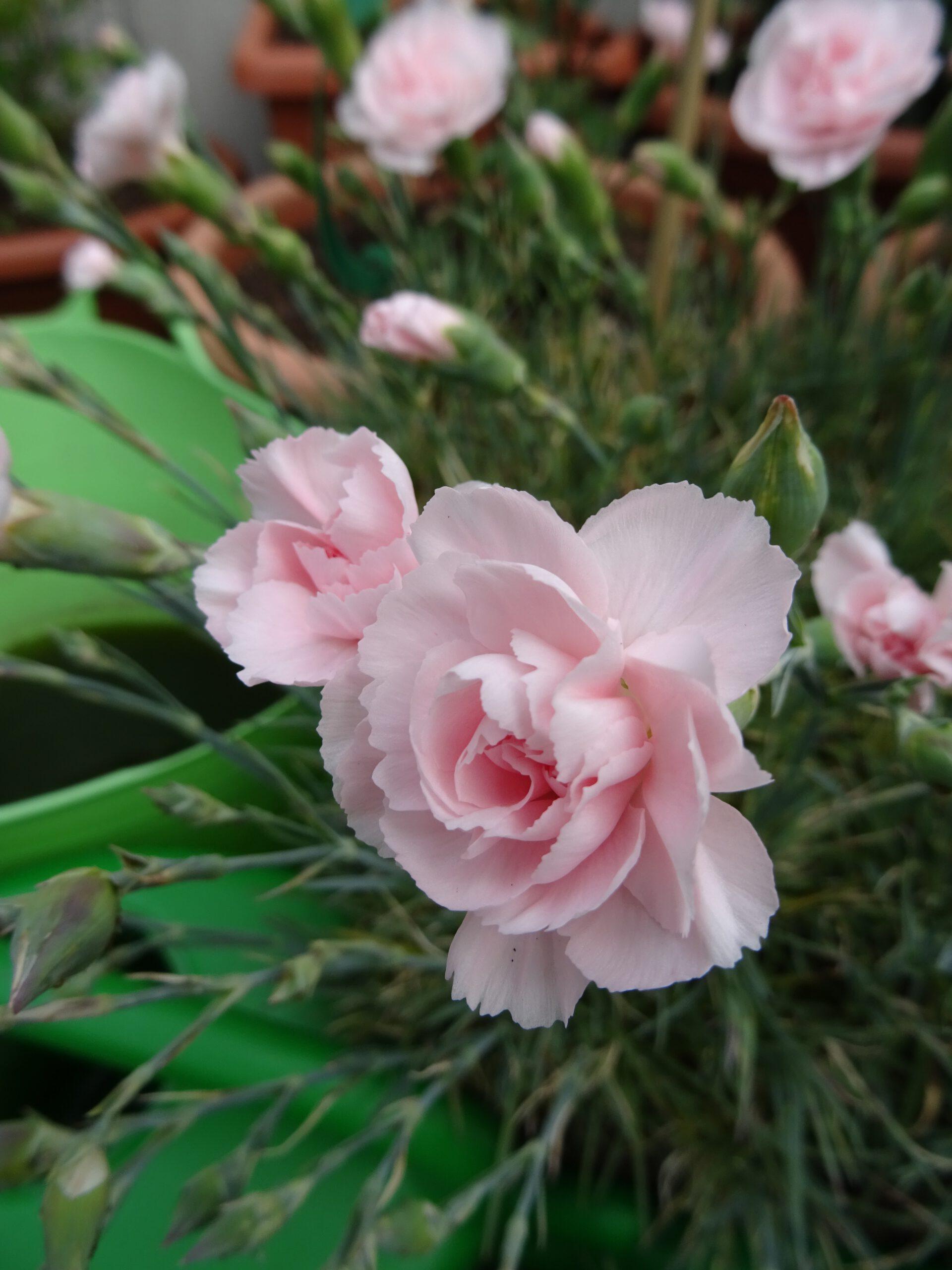 Dianthus Devon zartrosa