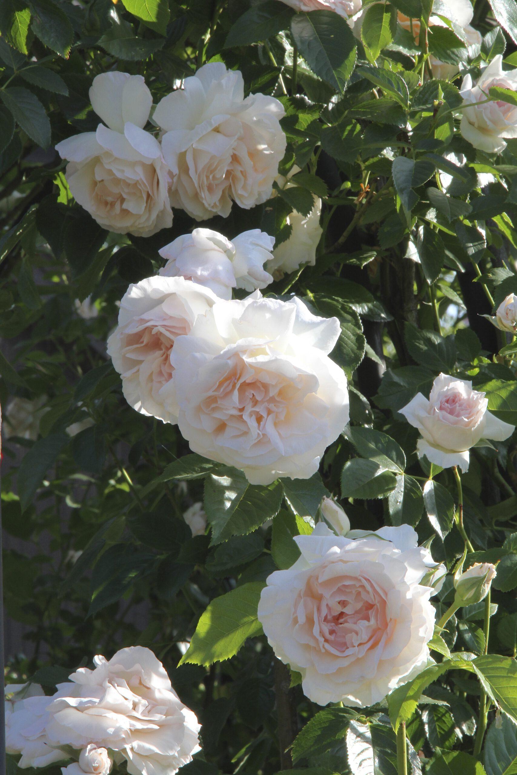 Graciosa Blütengruppe