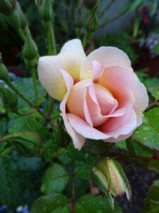 Orienta Magnolia Knospe
