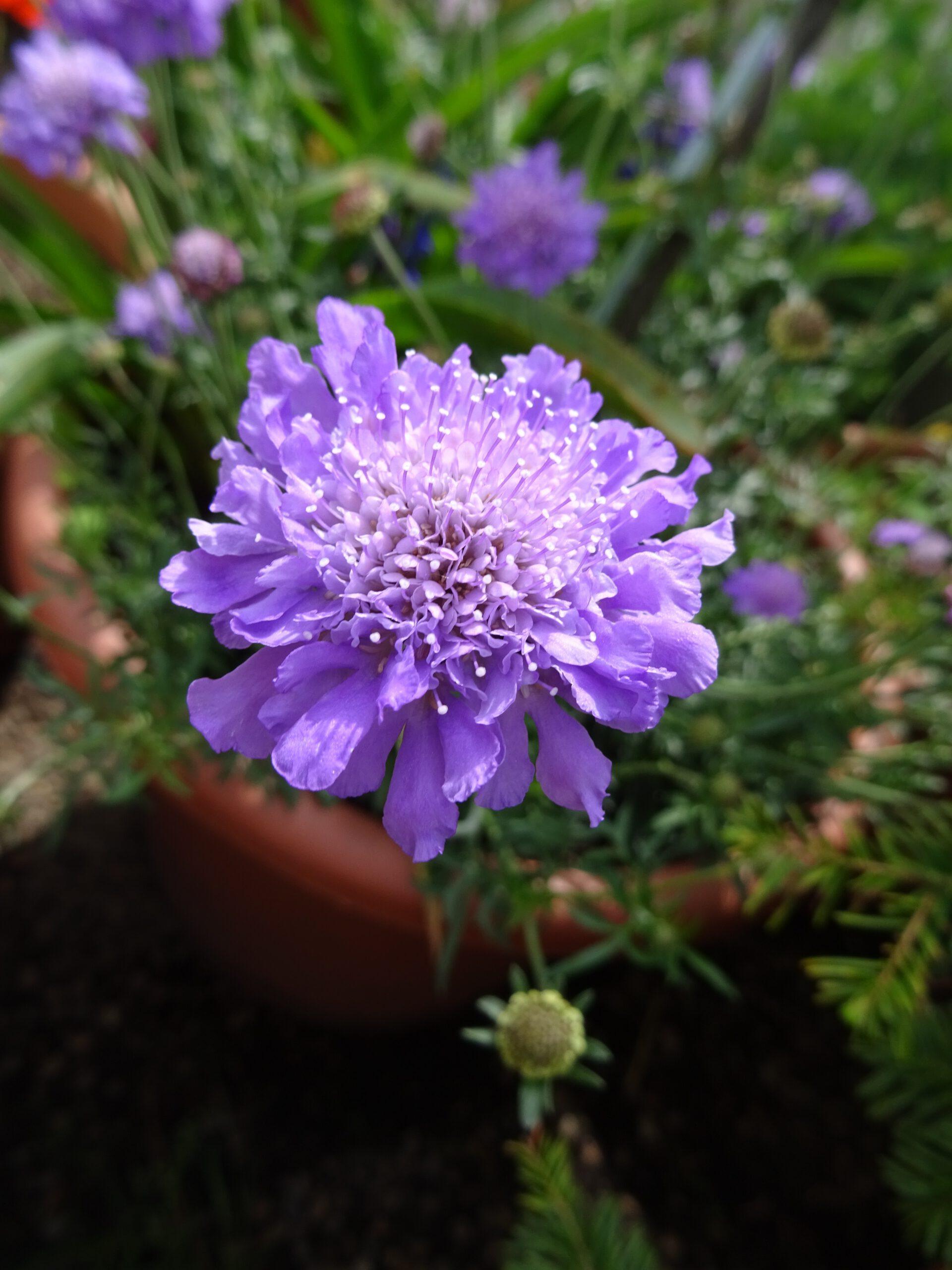Scabiosa columbaria Einzelblüte